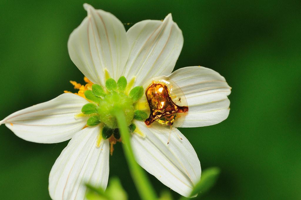 金盾龜金花蟲 Aspidomorpha furcata