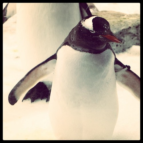Gentoo penguin by tommy.tze