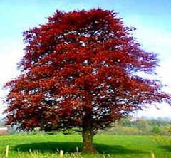 Red Copper Beech