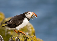 Been fishing.... (GlasgowPhotoMan) Tags: scotland fife northsea puffin eels anstruther firthofforth isleofmay atlanticpuffin fraterculaarctica auk snh sandeels scottishnaturalheritage anawesomeshot colorphotoaward mayprincess jeweloftheforth