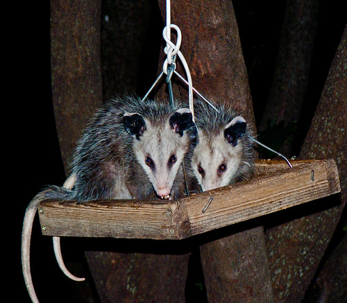 Double Trouble, Possum Littermates
