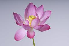 Lotus (leaders) Tags: nelumbonucifera gs22