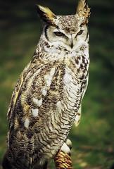 Great Horned Owl (Wolverine09J ~ 1 Million + Views) Tags: nature minnesota wildlife raptors greathornedowl naturesbeauties wildlifeshots wildlifeaward northamericanowls chariotsofartistslevel1 1goldwildlife