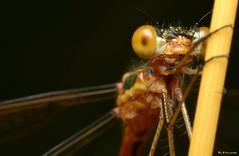 ~Lestes sponsa~ (Eddie The Bugman) Tags: macro damselfly odonata zygoptera emeralddamselfly extensiontubes lestessponsa nikkor60mmmicro sb900 nikond7000 edwardnurcombe wildlifeonthegothebugman