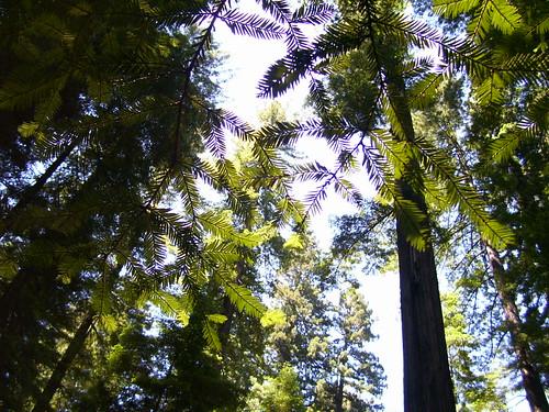 Redwoods macro