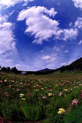 Lily in Fujimi plateau.