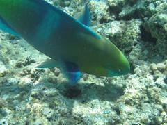 playa 065 (Janui) Tags: snorkel sharmelsheik marrojo naamabay