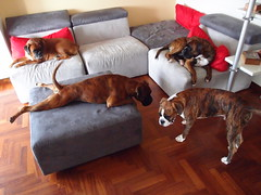 Mim, Iris, Ian, Tyson (deboh76) Tags: dog pet cane boxerdog crew bunch boxer gruppo mucchio canidi patafruttoli boxercrew