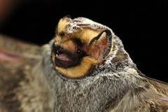 Hoary Bat (Lasiurus cinereus), male