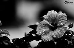 Monochrome drops... (Pablin79) Tags: trip light summer bw white black flower monochrome rain brasil digital canon eos reflex drops holidays dof bokeh hibiscus 5d vacations pipa balneariocamboriu markii 70200mm 2011 bokah bookeh canonef70200mmf4lisusm canoneos5dmarkii 5dmkii pabloreinsch pabloreinschphotography pablin79
