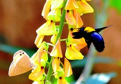 B&B (bee&butterfly) (Buyung Mukawi (OFF)) Tags: phoddastica