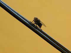 Mosca Varejeira (Kozzme) Tags: mosca varejeira