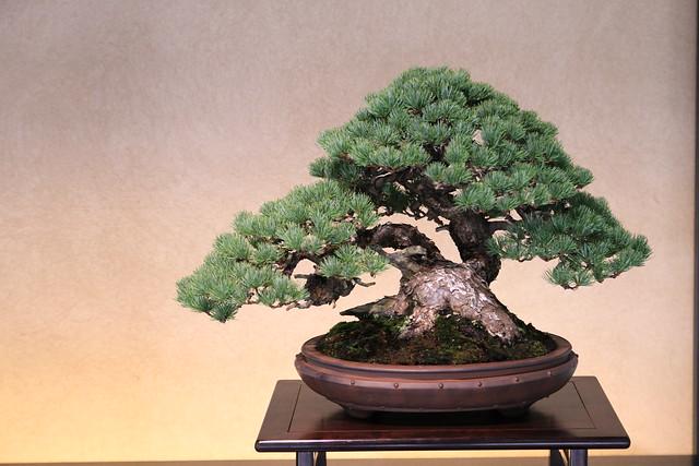 五葉松 Goyo-matsu (Japanese Five Needle Pine)  - 盆栽美術館 - bonsai museum