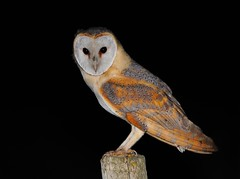 Coruja das torres / Barn owl (anacm.silva) Tags: wild bird portugal nature birds nikon wildlife natureza aves ave owl coruja barnowl tytoalba vidaselvagem corujadastorres pontadaerva anasilva