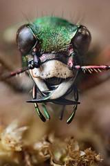 TIGER  PORTRAIT SERIES 2011  #2 (GOLDENORFE) Tags: macro insect greentigerbeetle macrolife