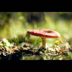 in rot (~janne) Tags: nature mushroom mushrooms 50mm flora f14 herbst natur pflanzen olympus fungi pilze fliegenpilze wetzlar leitz janusz manuell summiluxr e520 ziob