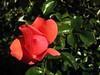 ,IMG_1178 (Eli Nixon) Tags: park flowers autumn roses usa closeup colorado longmont rosegardens iso80 municipalgardens elinixon morningdrivewithgrover canons90 rooseveltparkrosegardens
