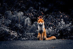 fantastic mr. fox (theoaktreefactory) Tags: portrait urban london nature animal wildlife fox creature graysinn