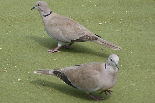 Collared Doves (Streptopelia decaocto)
