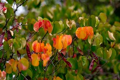Onset of Autumn (Roy Prasad) Tags: california leica travel autumn trees red vacation orange usa holiday macro fall colors pod dof bokeh apo foliage sanfranciscobayarea prasad f25 geen s2 120mm royprasad summarits