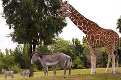 Pair's Of Zebra & Giraffe (Roshan Saumtally) Tags: africa horse tree gardens african pair stripe safari zebra pairs tall giraffe plains plain buschgardens busch giraffa equus savanna giraffacamelopardalis quagga equusburchelli camelopardalis burchelli equids equid equusquagga hippotigris retuculated
