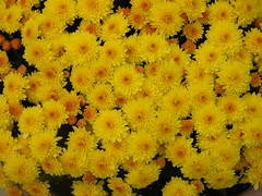 Autumn mums (gurdonark) Tags: flowers autumn fall yellow mums