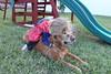 IMG_9092 (drjeeeol) Tags: dog pet halloween goldenretriever costume backyard katie tiger superman superhero cape supergirl triplets toddlers 2011 36monthsold