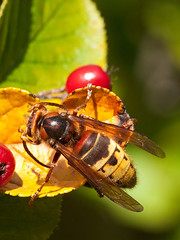 European Hornet (ichael) Tags: nature animal insect wildlife vespacrabro project365 296365 project365102311 2011inphotos