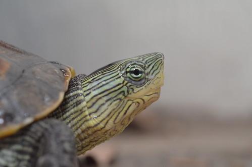 臉上有許多黃綠色條紋的斑龜,是個性溫和的台灣原生龜類。圖:呂軍逸。