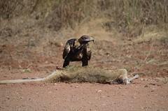 Satisfied (NLFraser) Tags: raptor roadkill wedgetailedeagle australianbird australianraptor
