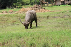 Water Buffalo (IMG_5024) (SWID3RSKI) Tags: animal thailand mammal chiangmai waterbuffalo 2011   elephantnaturepark bubalusbubalis asianwaterbuffalo