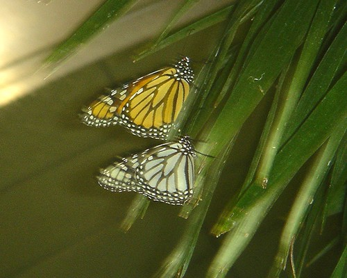 white and orange monarchs