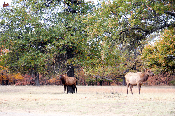 Elk at Woolaroc