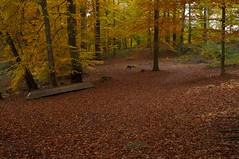 (funkead) Tags: autumn forest buchenwald pentax herbst wald brandenburg uckermark buche kx pentakx smcpm28f28 grumsin