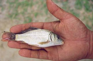 The catch, Bangladesh. Photo by WorldFish, 2006