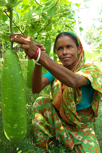 Woman harvesting vegetables, Bangladesh. Photo by WorldFish, 2004