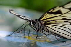 Butterfly (Rene Mensen) Tags: white black macro butterfly nikon lepidoptera mariposa schmetterlinge emmen vlinder vlindertuin portrati    d5100