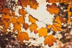 Lighten up (Ernie Kwong Photography) Tags: autumn toronto fall nature leaves backlight highpark mapleleaf changeofseason ef35mm14l