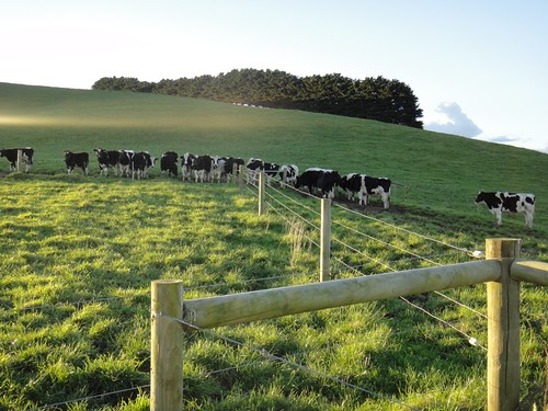 Grass-fed Gippsland Cows