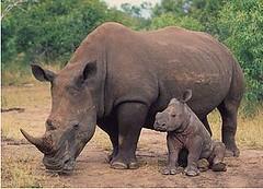 白犀牛(Ceratotherium simum)成獸與幼獸,南非。(Martin Harvey/攝,WWF-Canon/提供)