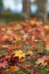 autumn colour #1 (kirschbrunnen) Tags: autumn red fall yellow japan nikon  nagano redleaves shinshu  d300