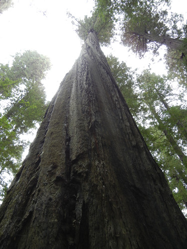 Avenue of the Giants, Humboldt Redwoods State Park, California _ 7466