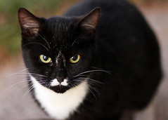 {Kitty} (Farmgirl18) Tags: white cute animal yellow cat eyes kitten feline farm bib kitty whiskers paws mustache blacl