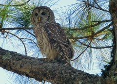 The Barred Owl... (Minkn) Tags: world wood blue light red wild usa brown sun color tree bird nature beautiful grass birds yellow norway fauna club america golf walking spectacular born us orlando nice eyes colours view florida walk dunes great natur disney palm norwegian golfing owl stunning magnolia gras fl prey exilim claws owls windermere barred bl the grnn shouldered naturesfinest 2011 minkn exzr100 exfz100