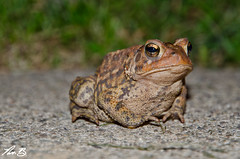 Friendly Fowler's Toad (Nick Benson Photography) Tags: new york family ny nature grass photography photo nikon post state reptile painted nick cement amphibian toads upstate toad amphibians benson camoflauge reptiles fowlers bufonidae d7000