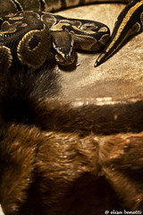 trap (Elisa Benetti) Tags: nature look skin snake sguardo scales trap serpente squame