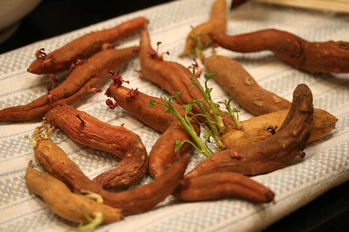 sweet potato sprouts 035