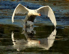 Prepared for Takeoff (jannagal) Tags: lake reflection bird nature water swan wings michigan wildlife feathers celebrities muteswan cygnusolor stonycreekmetropark canon60d oltusfotos mygearandme mygearandmepremium mygearandmebronze mygearandmesilver mygearandmegold mygearandmeplatinum mygearandmediamond photographyforrecreation jannagal celebritiesofphotographyforrecreation pfrclassic
