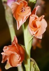 Sweet Surrender (bigbrowneyez) Tags: flowers green nature beautiful ruffles sweet bokeh blossoms salmon buds ripples stalks peachy blooming elegance gladiolas unraveling sweetsurrender ringexcellence