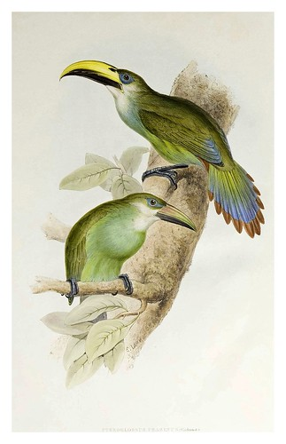 004-Oro verda Araçari-A monograph of the Ramphastidae or family of Toucans-1834- John Gould